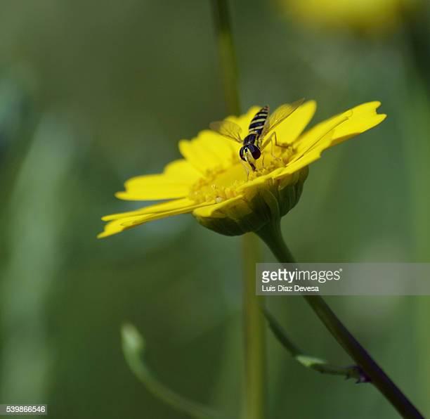 Wasp up yellow daisies