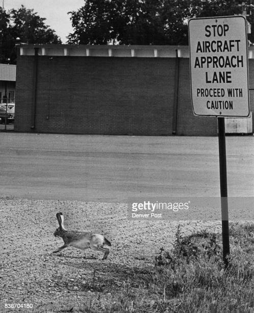 Watch for LowHopping Rabbits A young jackrabbit his blacktipped ears tuned for lowflying planes at Stapleton International Airport starts bounding...