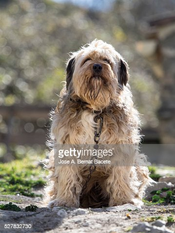Watchdog with chain sitting outdoors (Shepherd dog)