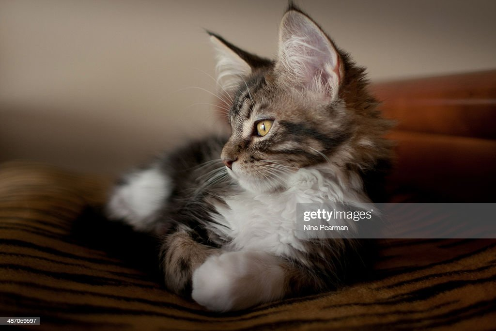 Watchful Kitten : Stock Photo