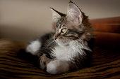 Watchful Kitten