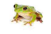 Sitting white-lipped tree frog or Litoria Infrafrenata isolated on white