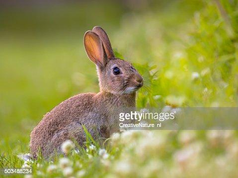 Watching Wild European rabbit : Stock Photo