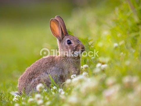 Watching Wild European rabbit