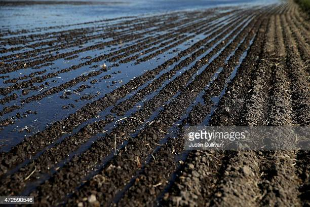 Water begins to flood a field that will be planted with rice on May 8 2015 in Biggs California As California enters its fourth year of severe drought...