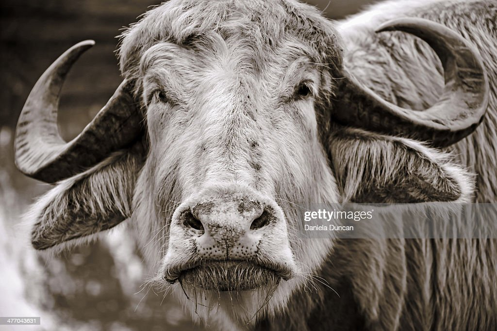 Water Buffalo Close-up