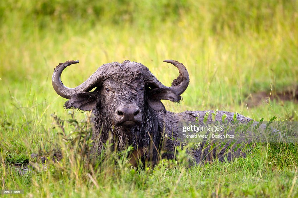 Water buffalo covered in mud from a bath in a watering hole at the serengeti plains