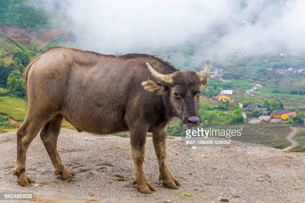 A Water Buffalo in Sa Pa (vietnam)