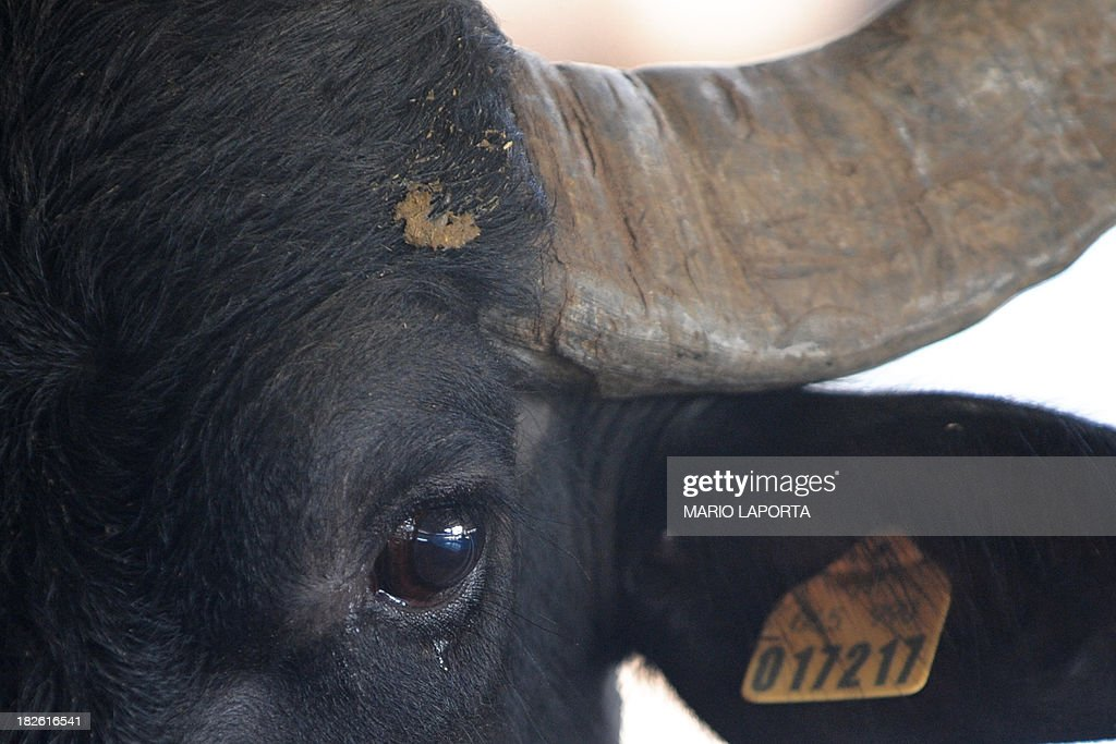 A water buffalo is pictured at the Tenuta Vannulo dairy farm in Capaccio on September 3, 2013. A queue forms for rub-downs as jazz piano tinkles out of the speakers: some of the best buffalo mozzarella in the world starts with in-stable VIP treatment. The half-tonne black water buffaloes spend their days lounging on rubber mattresses, munching on organic hay or looking forward to vaporised showers that form a fine cooling mist from overhead pipes.