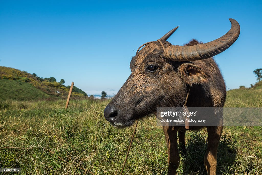 water buffalo : Stock-Foto