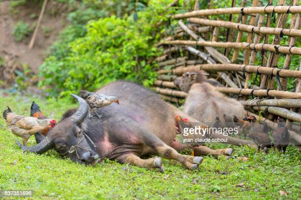 A water buffalo relaxing with chickens, in Lao Cai province (