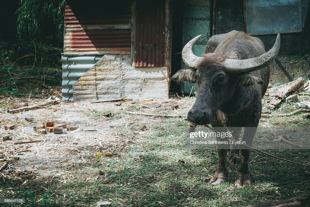 Water Buffalo Standing On Field By House