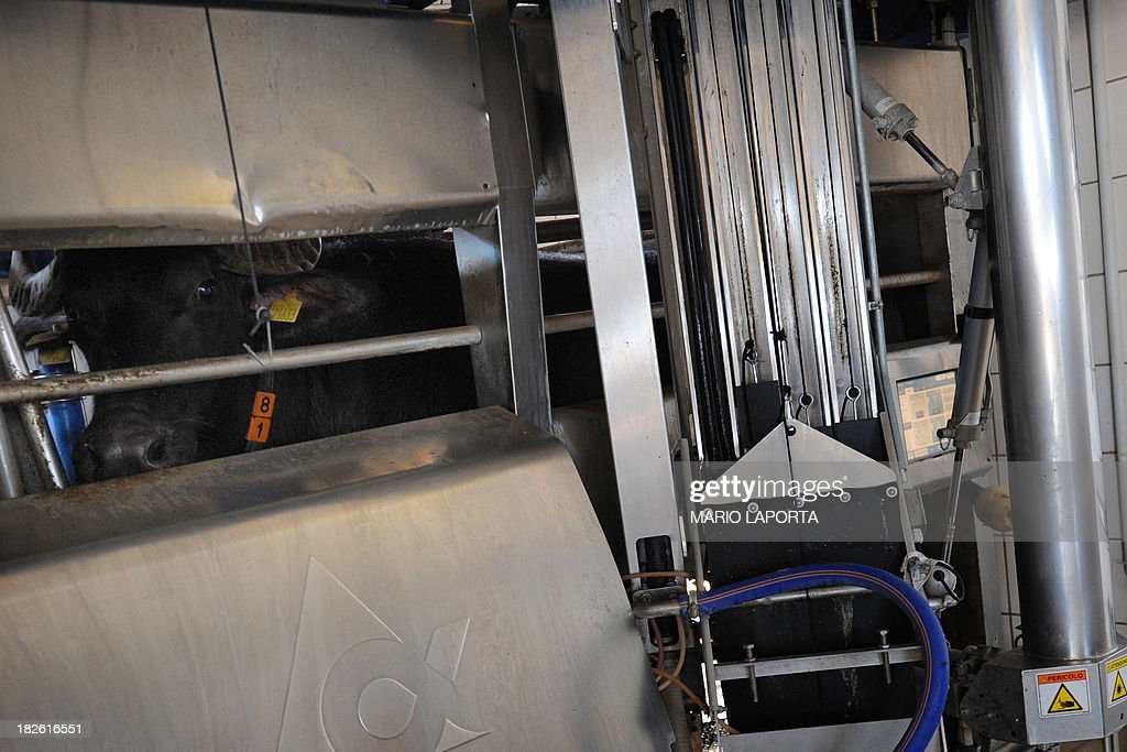A water buffalo stands in a milking machine at the Tenuta Vannulo dairy farm in Capaccio on September 3, 2013. A queue forms for rub-downs as jazz piano tinkles out of the speakers: some of the best buffalo mozzarella in the world starts with in-stable VIP treatment. The half-tonne black water buffaloes spend their days lounging on rubber mattresses, munching on organic hay or looking forward to vaporised showers that form a fine cooling mist from overhead pipes.