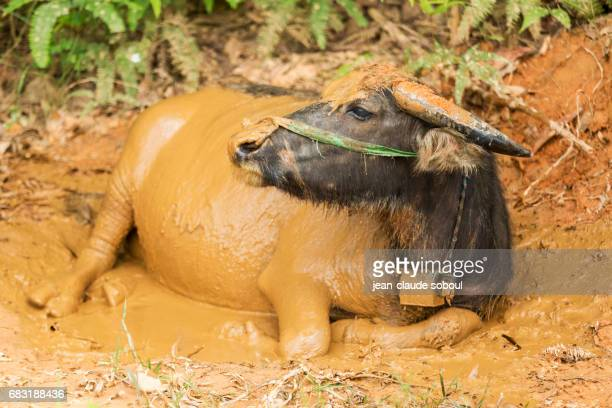 Water Buffalo taking a mud bath, in Hue district (vietnam)