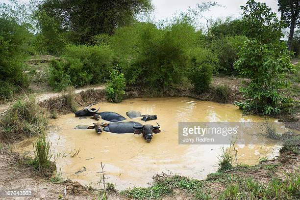 Water buffalo wallow in a mud hole left in a decadesold bomb crater along the old Ho Chi Minh Trail The Lao government recently improved the rough...