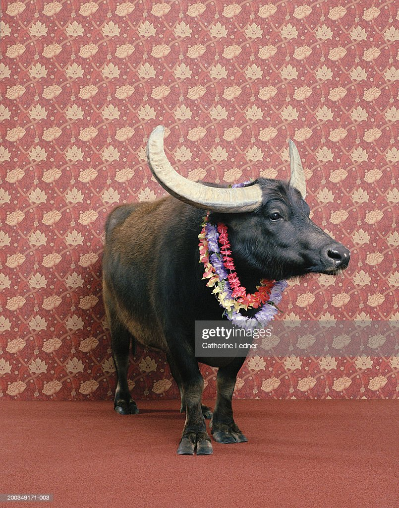 Water buffalo (Bubalus arnee) wearing flower leis