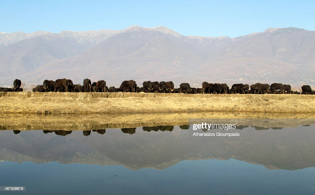 Water Buffaloes at Lake Kerkini is an artificial reservoir that was created in 1932, and then redeveloped in 1980, on the site of what was previously an extremely extensive marshland on Decemper 22, 2013 in Lake Kerkini, Greece.