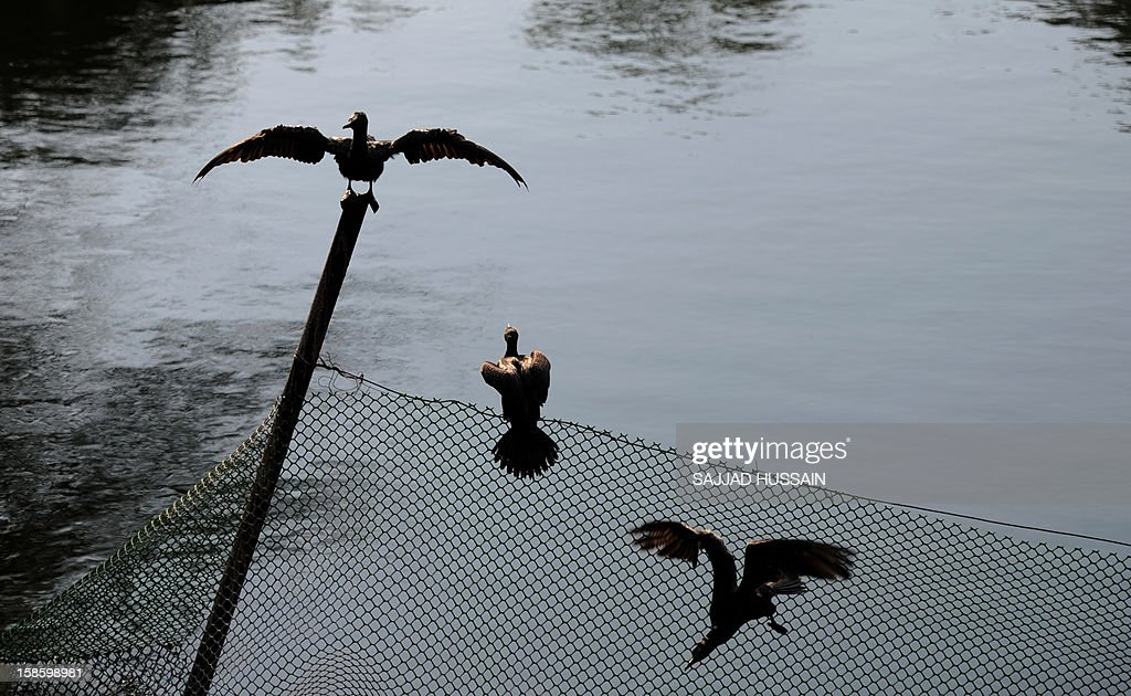 A water crow rests on a wooden bamboo pole along with fencing at Lodhi gardens in New Delhi on December 20, 2012.