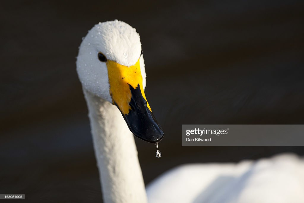Water drips from the beak of a Bewick's Swan in Regents Park on March 4, 2013 in London, England. The Met office has predicted the warmest day of the year tomorrow with a top temperature of 15 degrees in some parts of the country.