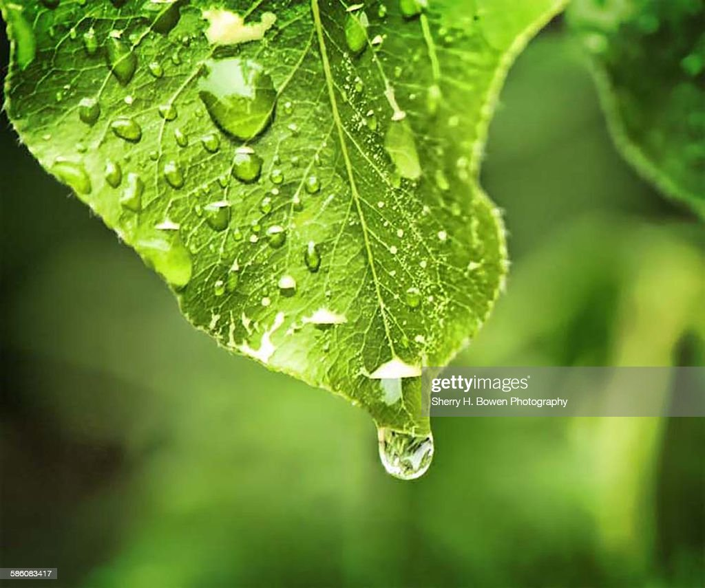 Water drop off a leaf