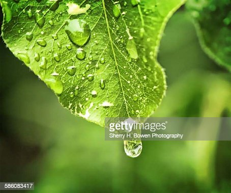 Water drop off a leaf
