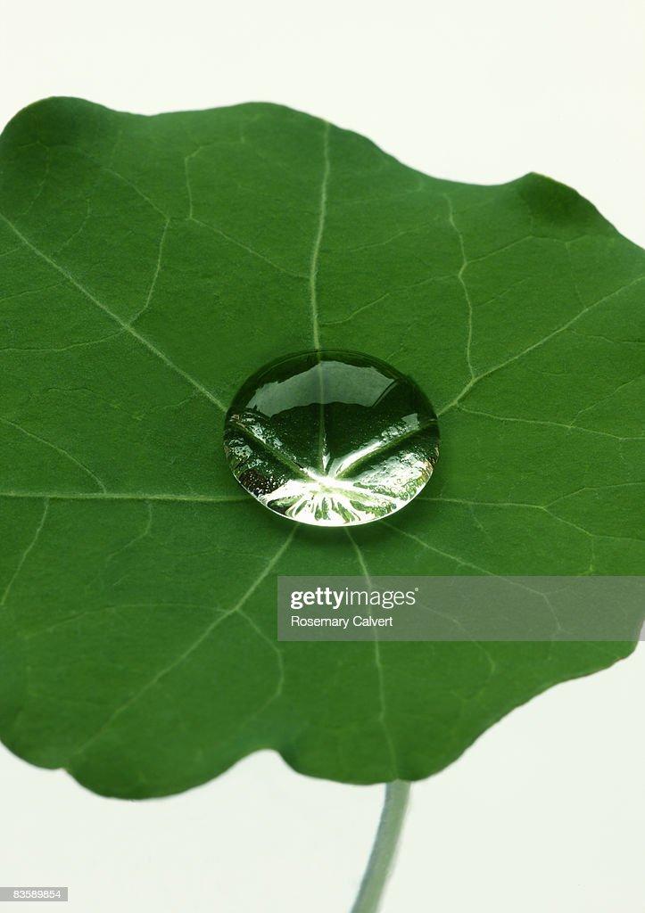 Water drop on nasturtium leaf.