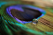 Close up of water drop a colorful peacock feather