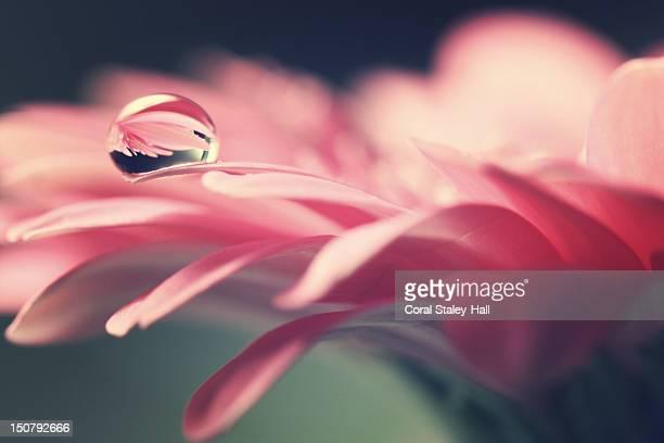 Water drop with refraction of flower petal