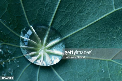Water droplet on nasturtium leaf, close-up : Stock Photo