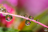 water drops and dew on pink flower petal background.Macro picture after the rain