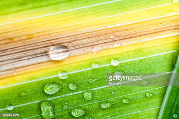 Water drops on a bamboo  leaf after the rain