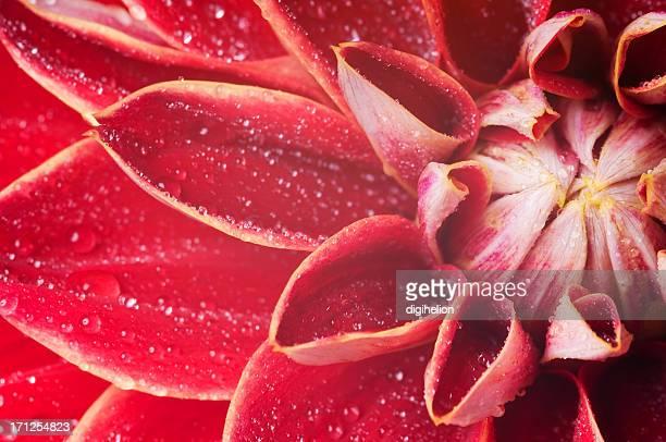 Gouttes d'eau sur une fleur dahlia.