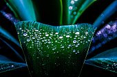 Water drops on Agave americana in San Diego, CA, USA