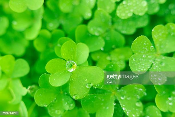 Water drops on clover leaves, close up, full frame