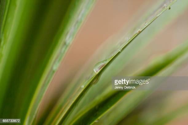 Water drops on Cordyline leaves