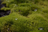 Water Drops On Moss In Forest