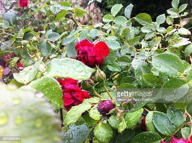 Water Drops On Roses And Leaves In Park