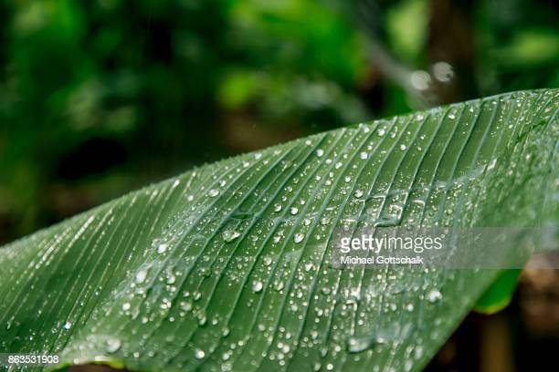 Water drops on the leave of a banana plat at the field of a farm on which plants grow with the support of the irrigation system of local farming...