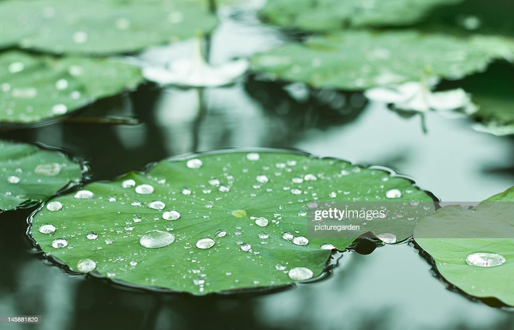 Water Drops on Water Lilly : Stock Photo