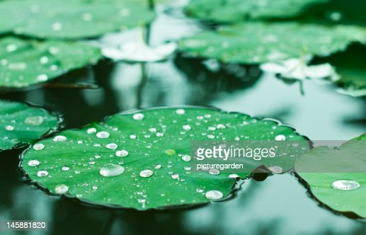 Water Drops on Water Lilly : ストックフォト