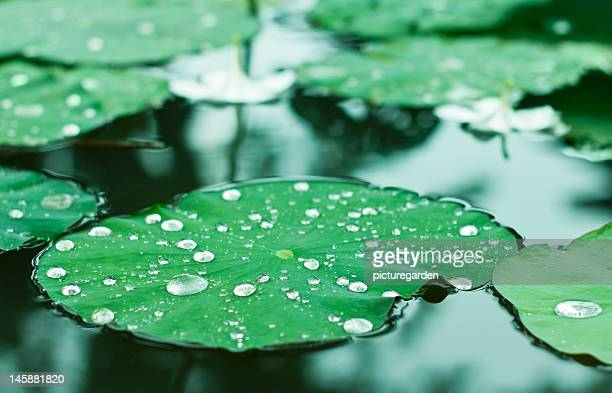 Water Drops on Water Lilly