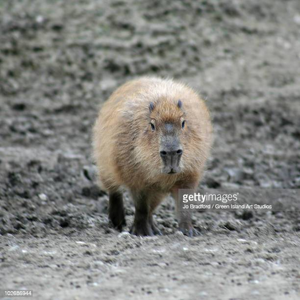 Water hog Capybara