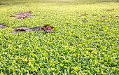 water hyacinth and lotus on pond for natural background