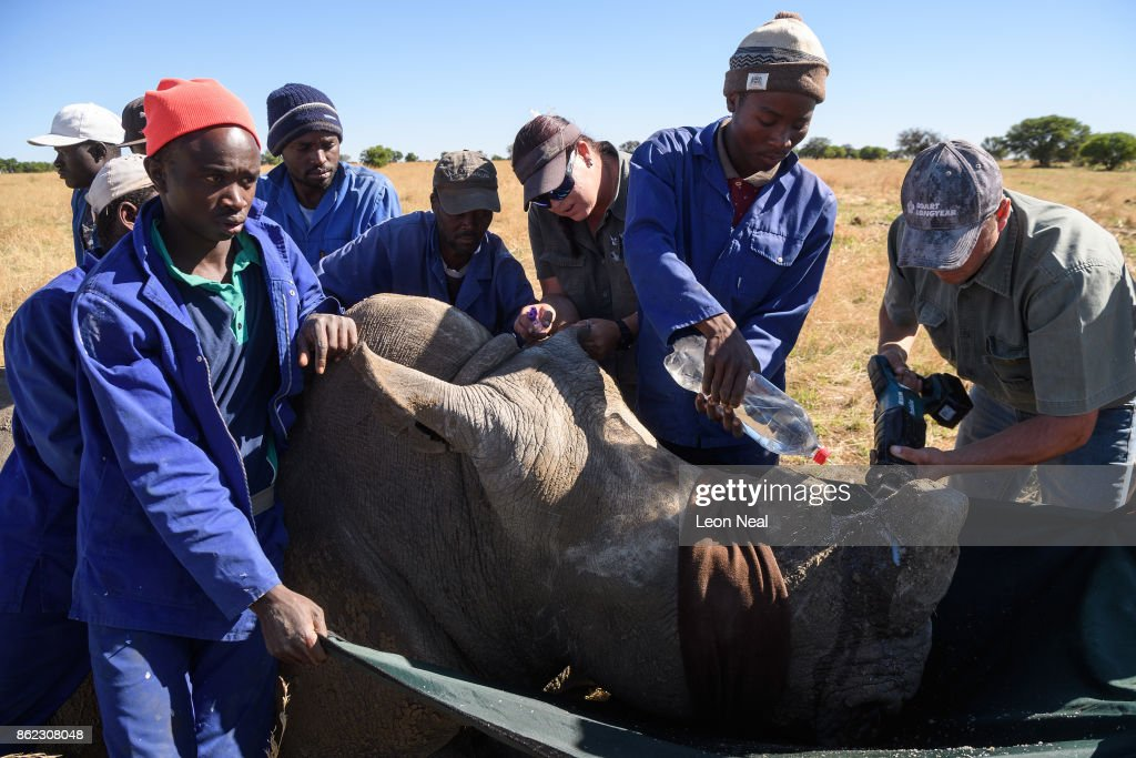 Water is sprayed onto the area as a rhino has it's horn trimmed, at the ranch of rhino breeder John Hume, on October 16, 2017 in the North West Province of South Africa. John Hume is currently the owner of around 1500 white and black rhinos, which he keeps under armed guard on his 8000 hectare property. In a bid to prevent poaching and conserve the different species of rhino, the horns of the animals are regularly trimmed, with 264 of the off-cuts recently being placed on sale at auction. The controversial decision to sell the horns was made on the basis that the illegal market creates an inflated value, while a controlled system would lower the prices and the need to poach. Mr Hume believes that the only way to ensure that the rhino does not become extinct is through farming the animals on a large scale and legalising the sale of rhino horn globally.