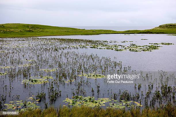 Water lilies at Tolsta of Isle of Lewis in Scotland