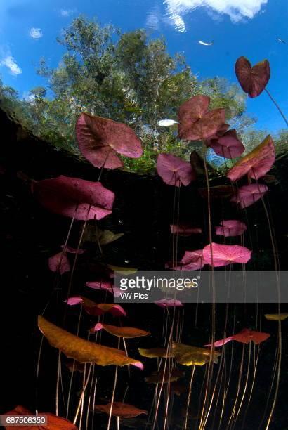 water lilies cenote carwash near Tulum Riviera maya Mexico