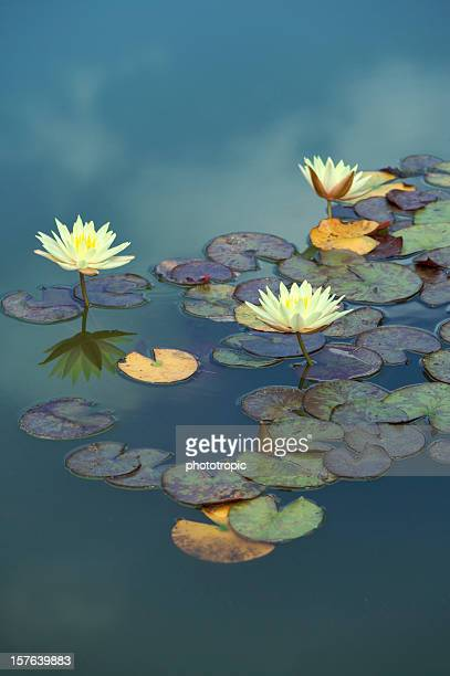 water lilies floating in the sky