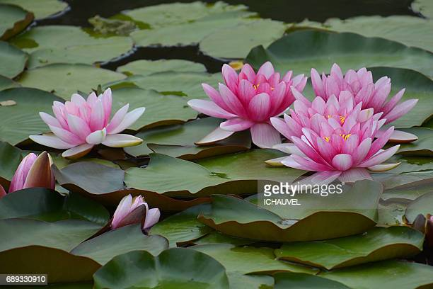 water lilies France