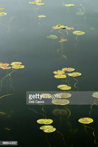 Water Lilies in pond : Stock Photo