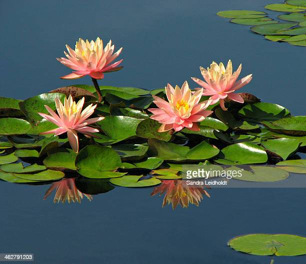 Water Lilies with Reflection